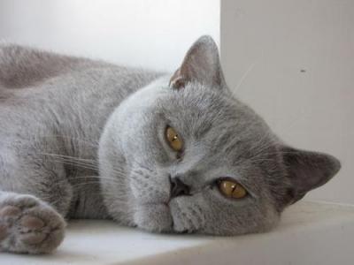 Молодой британский кот приглашает на вязку, фото Британская...