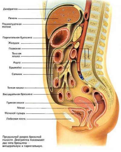 Париетальная брюшина имеет...  Брюшина покрывает не только такие органы, как желудок, но и выстилает изнутри всю...