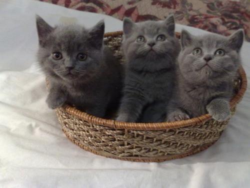 Британцы - Кошки в Красноярске.