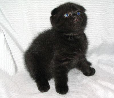 Куплю котенка, британца вислоухого черного или коричневого цвета, понятное дело с документами (типа породистого).