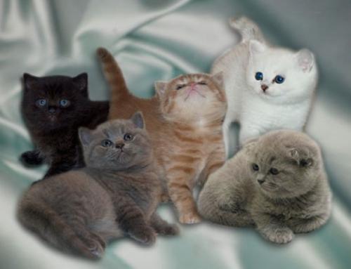 Автор: Елена.  Британские котята, Вислоухие котята.
