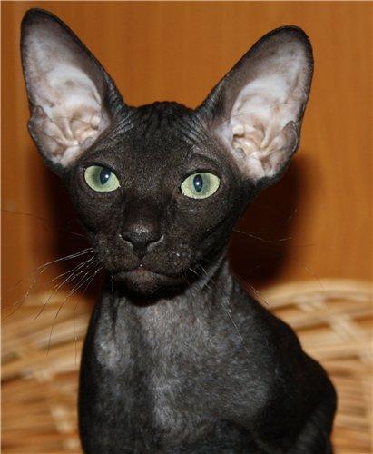 Кошка родилась в лесном племени.  Но она родилась сфинксом.
