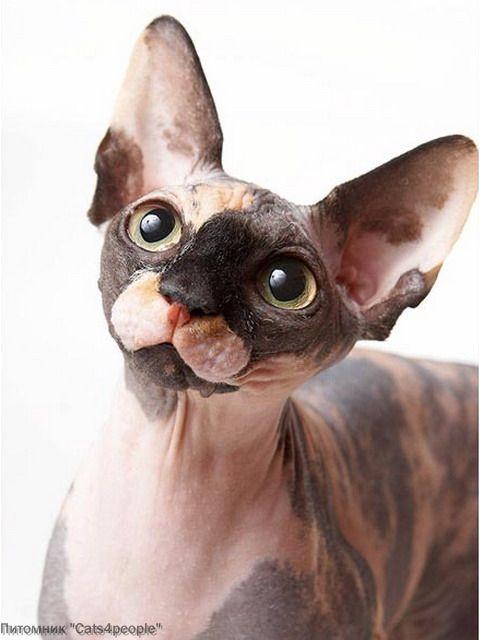 СФИНКС кот и кошка, котята КАНАДСКИЙ.